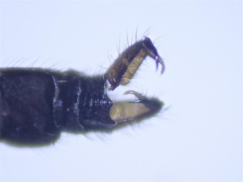 Pilaria discicollis