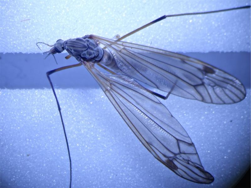 Tipula pabulina
