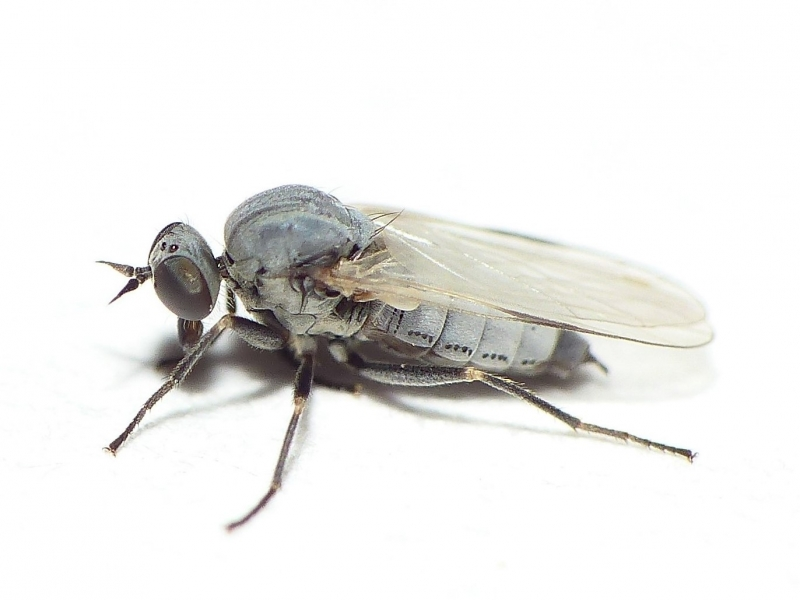 Hilara albipennis