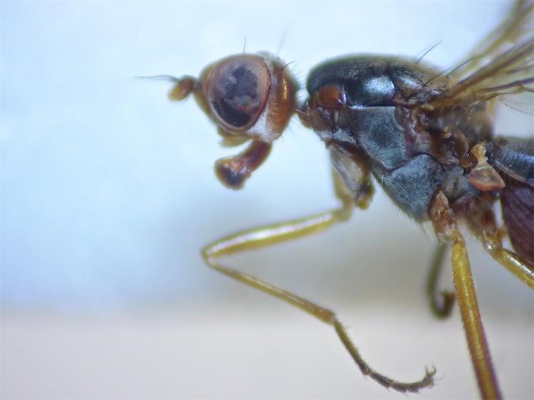Calobata petronella
