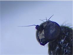 Melanostoma melanocholicus