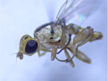 Meromyza cf. mosquensis