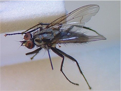 Eustalomyia histrio