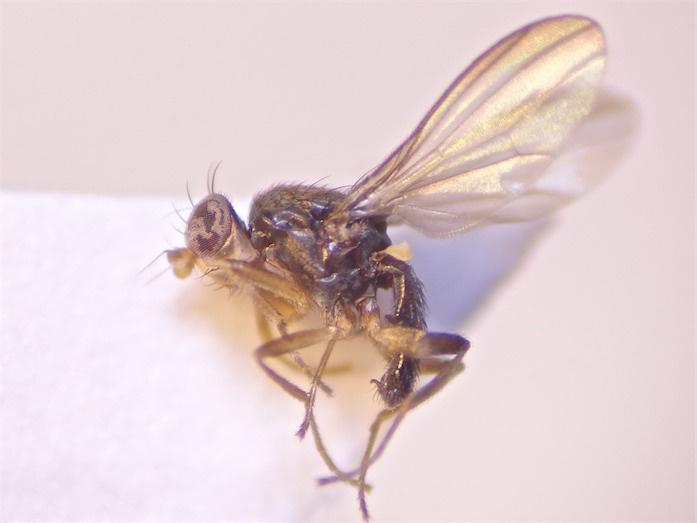 Acartophthalmus bicolor