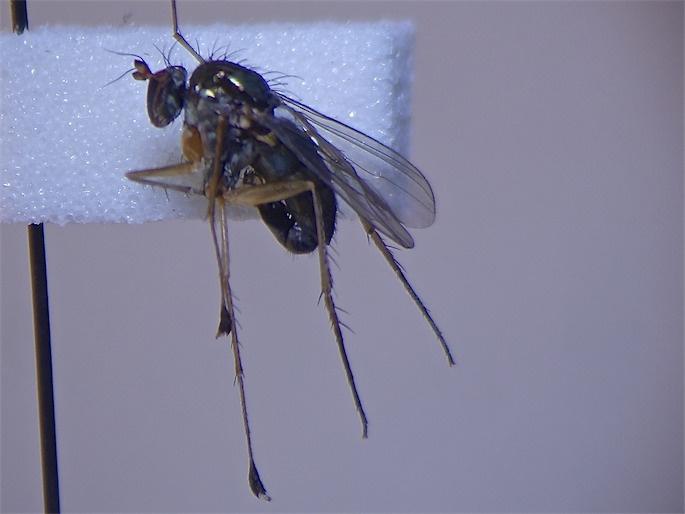 Dolichopus popularis
