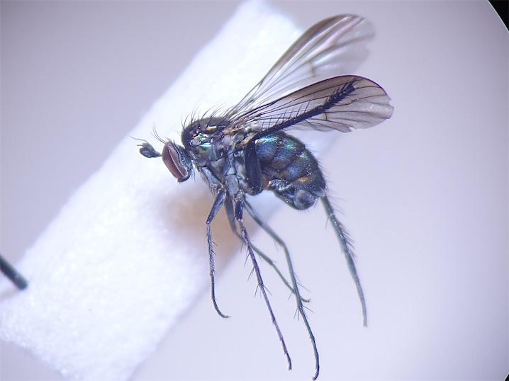 Dolichopus atratus
