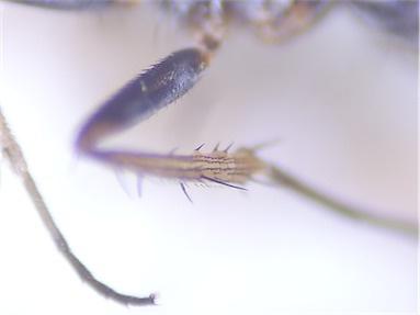 Gymnopternus cupreus