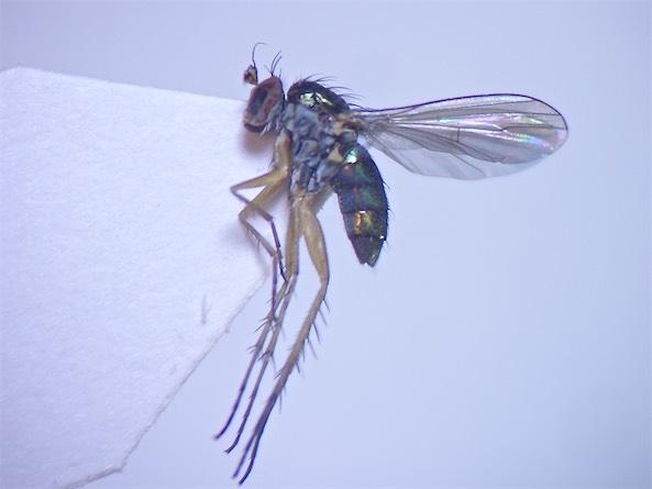 Dolichopus calinotus(f)