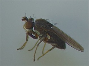 Phyligria picta