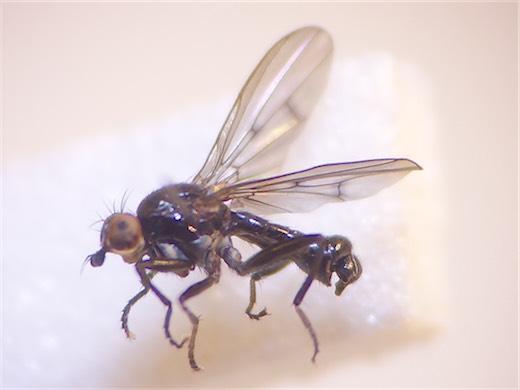 Anticheta nigra