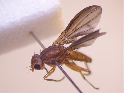 Pelidnoptera fuscipennis