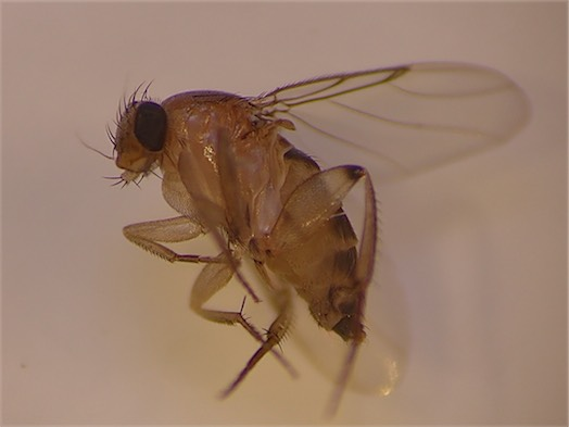 Megaselia scalaris(f)