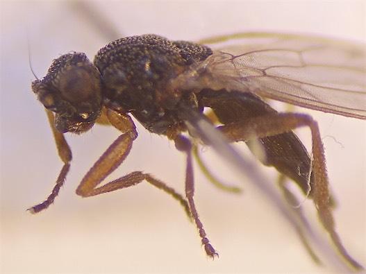Ischiolepta pusilla