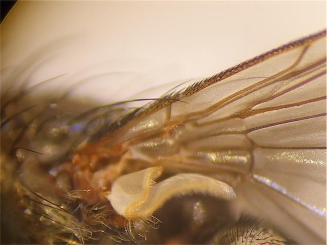 Pollenia pediculata