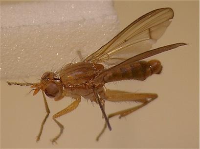 Tetanocera hyalipennis