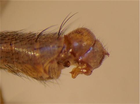 Tetanocera silvatica