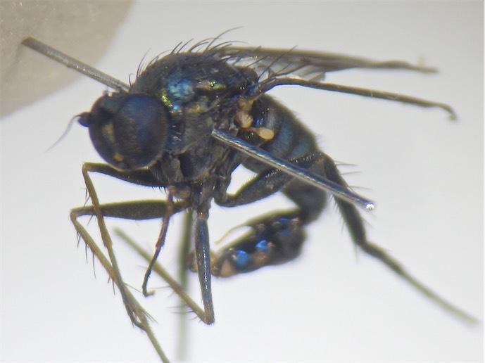Dolichopus lepidus