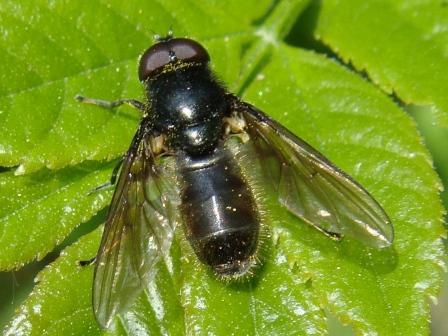 Cheilosia albitarsis Gewoon Weidegitje(m)