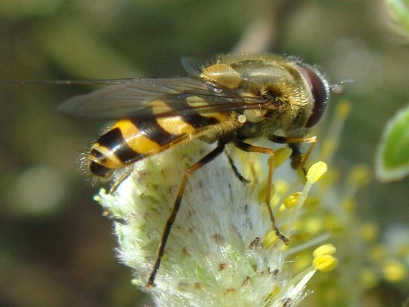 Syrphus torvus Bosbandzweefvlieg(m)