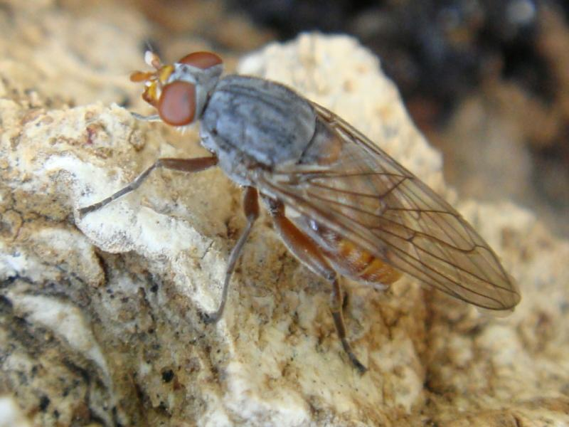 Brachyopa cf.scutellaris Loofhoutzweefvlieg
