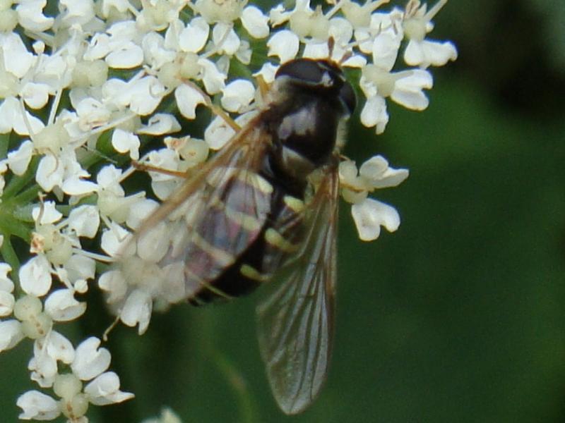 Dasysyrphus venustus Gewone Wimperzweefvlieg