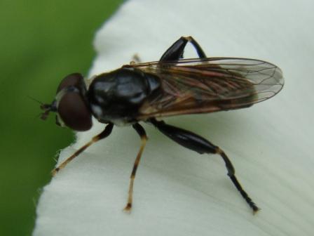Tropidia scita Moeraszweefvlieg(f)