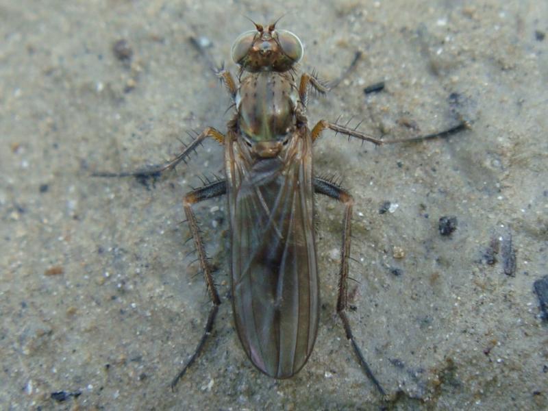 Thinophilus flavipalpus
