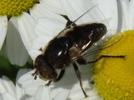 Eristalinus aeneus Kustvlekoog(f)