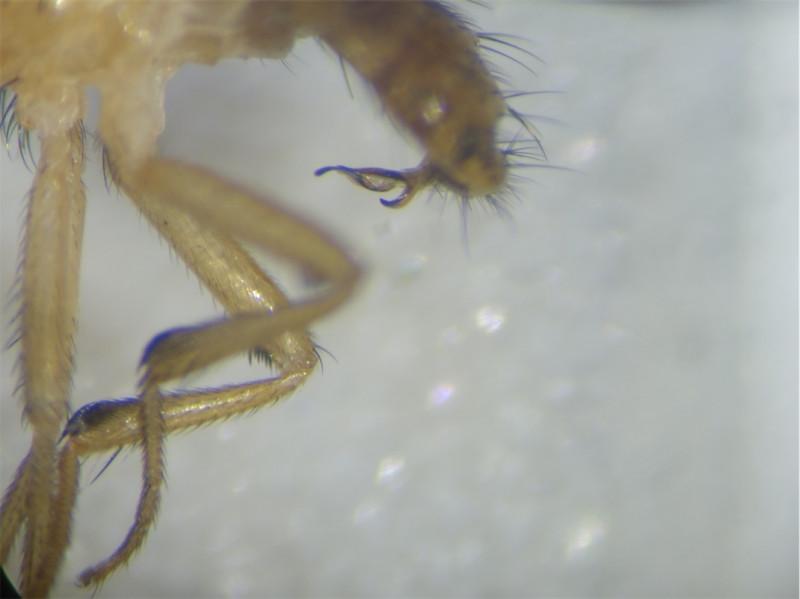 Sapromyzosoma quadripunctata