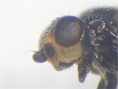 Eutropha fulvifrons