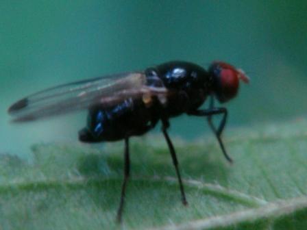 Seioptera vibrans