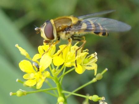 Syrphus vitripennis Kleine Bandzweefvlieg(f)