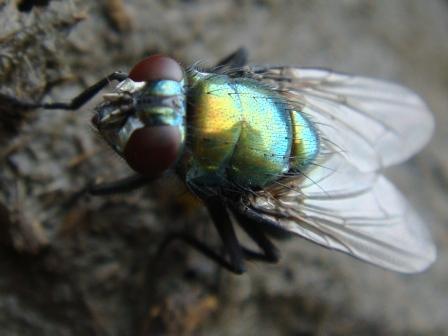 Neiomyia viridescens Groen Glansvlieg