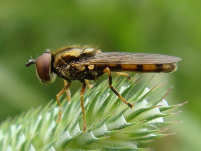 Platycheirus clypeatus Gewoon Platvoetje