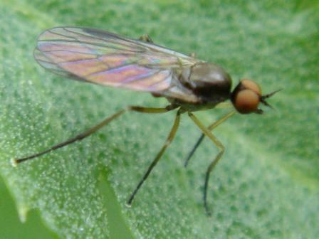 Trichonomyia flavipes