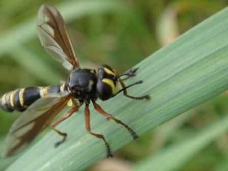 Physocephala rufipes