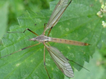 Tipula paludosa(f)