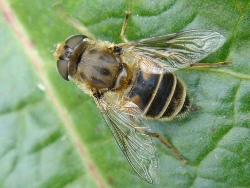 Eristalis arbustorum Kleine Bijvlieg(f)