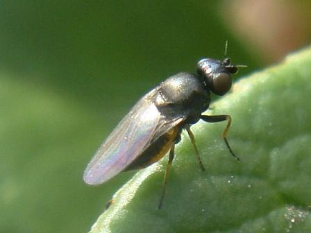 Chloropidae indet.