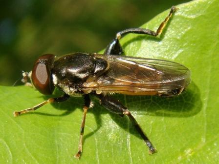 Tropidia scita Moeraszweefvlieg(m)