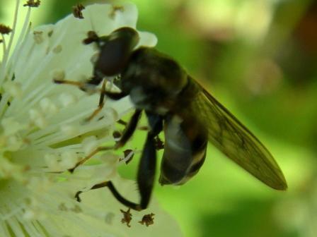 Chalcosyrphus nemorum Korte Bladloper(f)