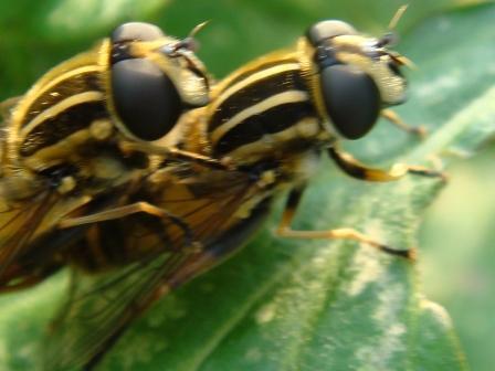 Helophilus pendulus Gewone Pendelzweefvlieg(f)