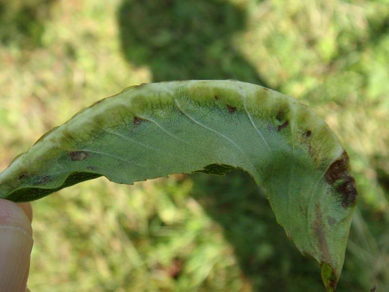 Dasineura fraxini Essenbladnerfgalmug