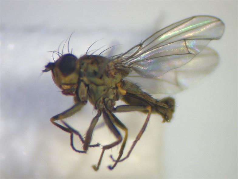 Notophila dorsata