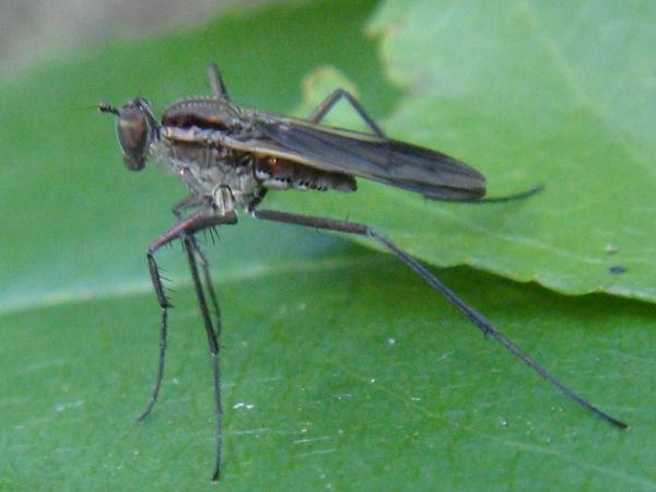 Scellus notatus