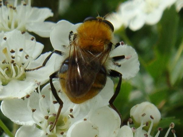 Criorhina floccosa Pluimwoudzwever(f)