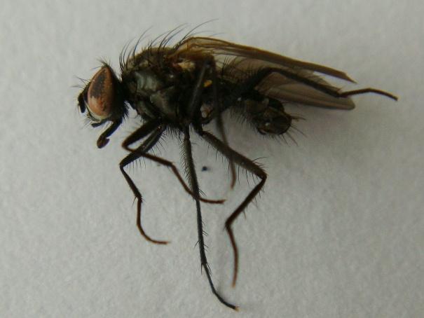 Botanophila fugax(m)