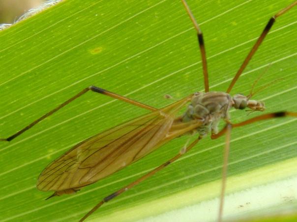 Tipula luteipennis(f)