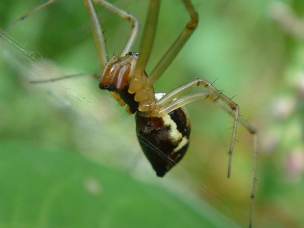 Linyphia triangularis Herfsthangmatspin
