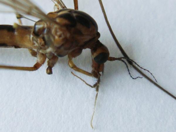 Nephrotoma lunulicornis